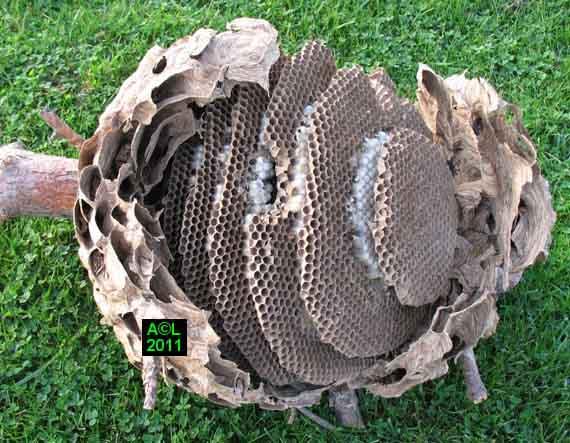 le frelon asiatique vespa velutina biologie morphologie d veloppement et comportement. Black Bedroom Furniture Sets. Home Design Ideas