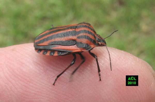 La punaise arlequin graphosoma italicum biologie morphologie d veloppement - Insecte rouge et noir ...