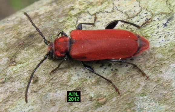 Insecte rouge maison avie home - Insecte de bois maison ...
