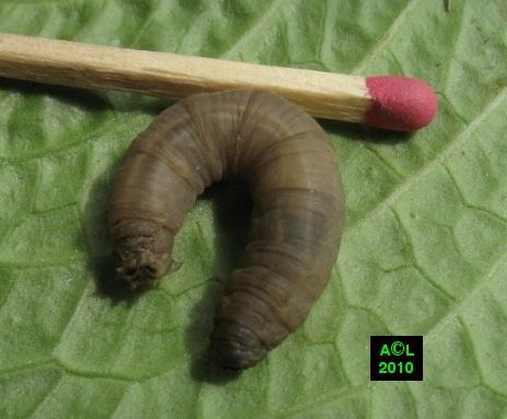 Les tipules ou cousins dipt res tipulidae biologie et for Gros vers gris dans la terre